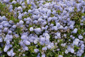 Purple Petaled Flower Shrubs