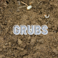 insects in lawn, lawn grubs, all turf lawn care, atlanta ga