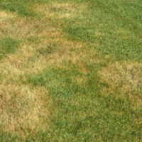 Zoysia Patch Fungus, Lawn Disease, All Turf Lawn Care, Atlanta GA