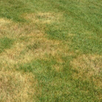 brown patch fungus, common lawn disease, All Turf Lawn Care, Atlanta GA