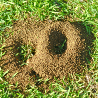 How to Get Rid of Fire Ants, Fire Ant Treatment, All Turf Lawn Care, Atlanta GA