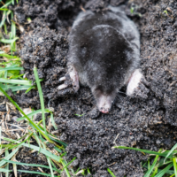 moles in lawn, moles in yard, lawn pests, All Turf Lawn Care
